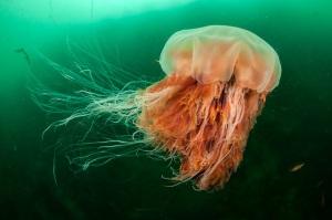 Lion's Mane Jellyfish, Cyanea capillata
